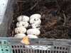 alligator-farming-eggs-1